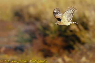 Red-shouldered Hawk flying over Pilant Lake