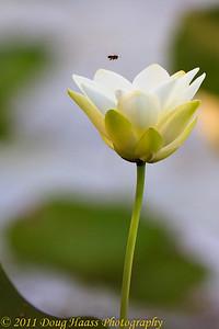 Lotus Flower and Honeybee