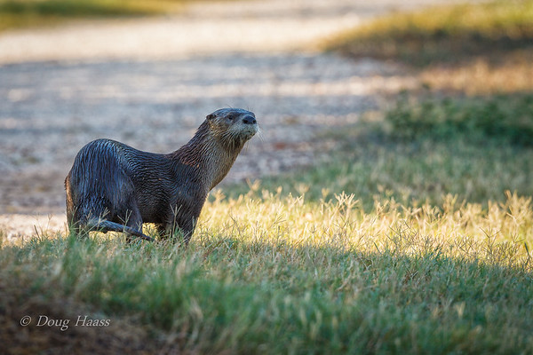 Adult Male River Otter at 40 Acre Lake on September 9, 2011