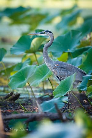 Great Blue Heron in hiding