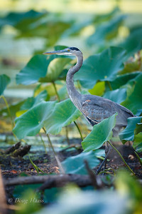 Great Blue Heron in hiding