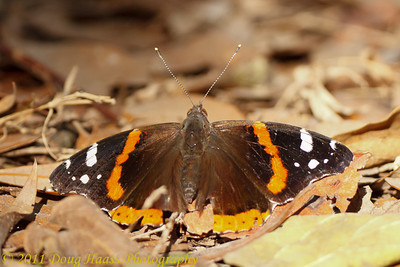 Red Admiral Butterfly (ID provided by Andrea Allen)  at south end of 40 Acre Lake Trail