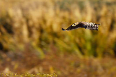 Red-shouldered Hawk flying over Pilant Lake