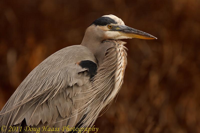 Great Blue Heron on Pilant Lake