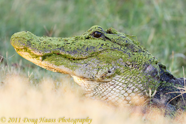 American Alligator on the bank of 40 Acre Lake