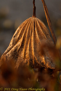 Decaying Lotus Pad in morning light