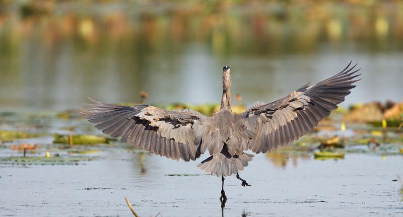 Great Blue Heron touchdown