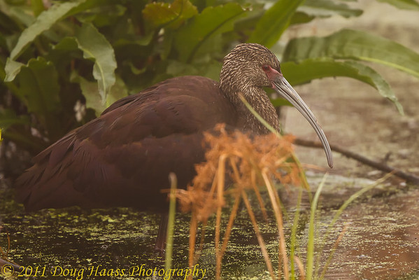 White-faced Ibis in Pilant Lake fog.