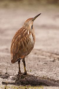 American Bittern on 40 Acre Lake