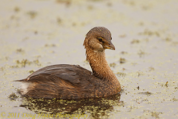 Pied-billed Grebe on 40 Acre Lake
