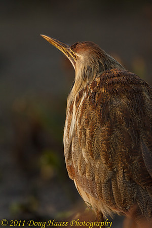 American Bittern in early morning light