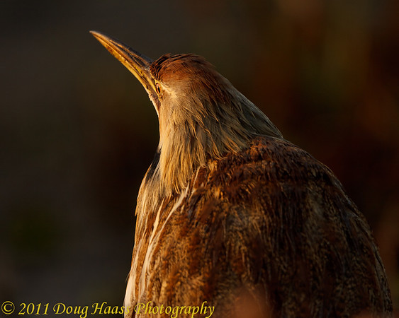 American Bittern at sunrise on 40 Acre Lake