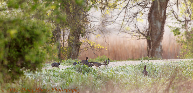 American Coots crossing the trail to 40 Acre Lake from Pilant Lake side