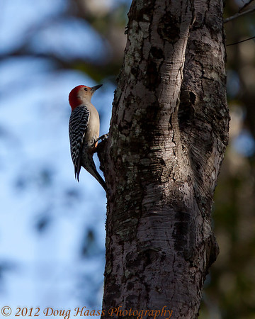 Red-bellied Woodpecker.  I heard its call before I found it in the trees.