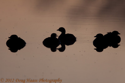 Pied-bill Grebes in silhouette