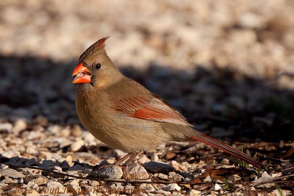 Female cardinal feeding
