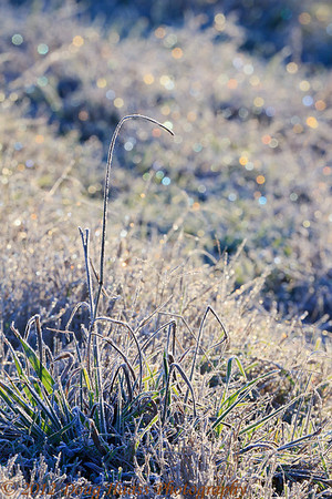 Frosted grasses at sunrise