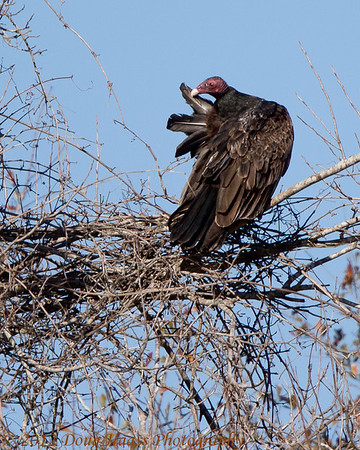 Turkey Vulture preening