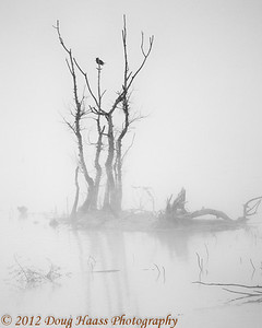 Belted Kingfisher on foggy morning