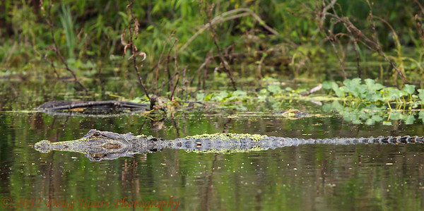 American Alligator at Old Horseshoe Lake