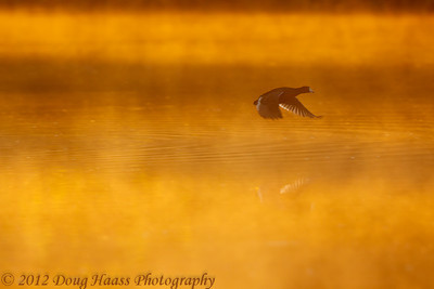American Coot in flight on foggy morning at sunrise