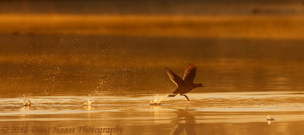 American Coot getting a running start for flight at sunrise
