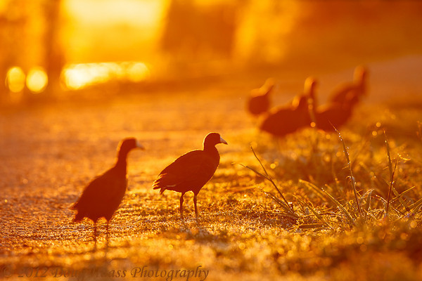 American Coots feeding on 40 Acre Lake Trail at sunrise