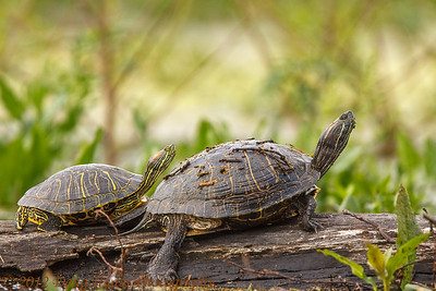 Red-eared Sliders at Elm Lake