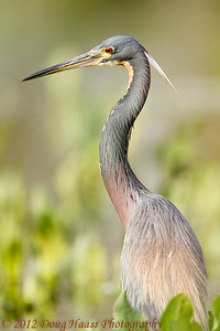 Tri-colored Heron in breeding plumage at Elm Lake