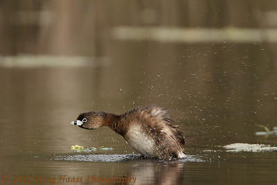 Pied-billed Grebe drying off
