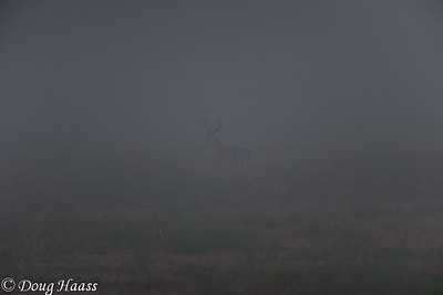 Buck in Fog