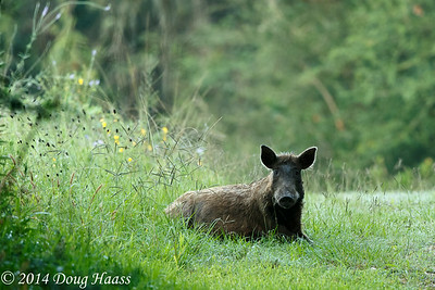 Wild Hog Sow
