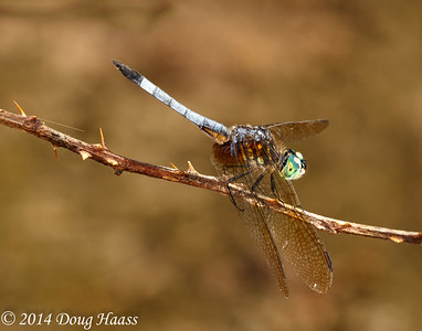 Male Blue Dasher Dragonfly (Pachydiplax longipennis) on Wildflower Trail