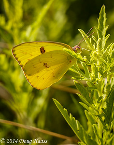Cloudless Sulphur Butterfly Phoebis sennae on Wildflower Trail