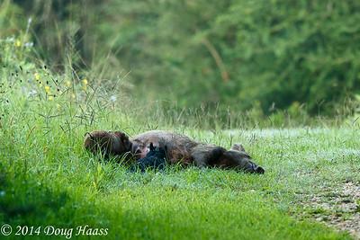 Wild Hog sow with Nursing Piglets