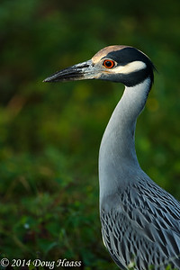Yellow-crowned Night Heron on Spillway Trail