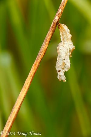Unidentified Chrysalis on Wildflower Trail