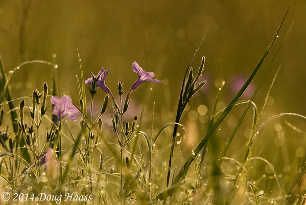 Violet Wild Petunia in dew covered grasses at sunrise