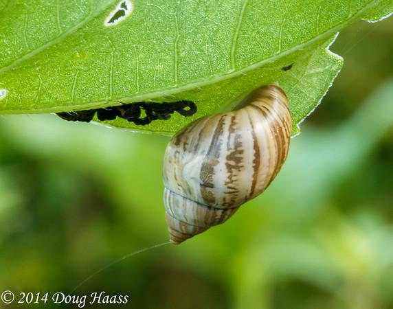 Whitewashed Rabdotus Snail (Rabdotus dealbatus of the family Bulimulidae) on Wildflower Trail