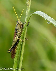 Obscure Bird Grasshopper on Wildflower Trail