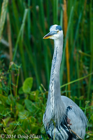 Great Blue Heron on Spillway Trail