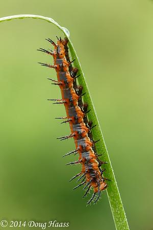 Gulf Fritillary Caterpillar on Wildflower Trail