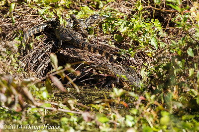 First and second year alligators on Spillway Trail