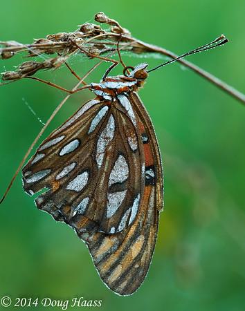 Gulf Fritillary Butterfly on Wildflower Trail