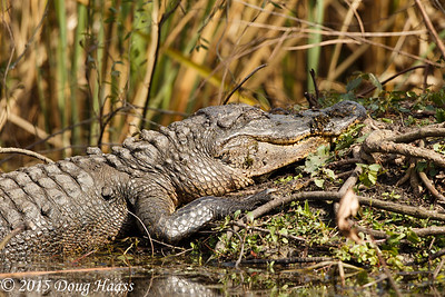 American Alligator Alligator mississippiensis with baby under its foot