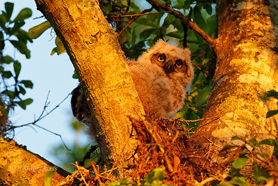 Great horned Owl Bubo virginianus owlet at sunset