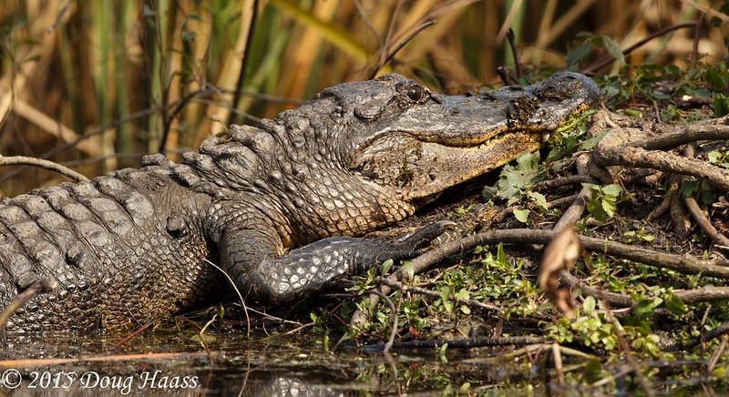 American Alligator Alligator mississippiensis with baby under its foot