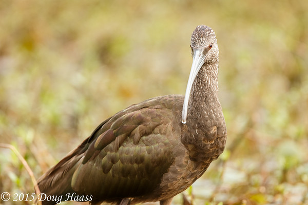 White-faced Ibis Plegadis chihi