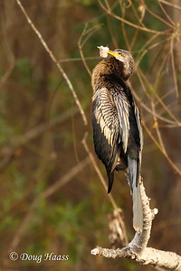 Anhinga on New Horseshoe Lake