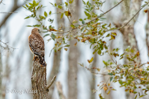 Red-shouldered Hawk on Pilant Slough